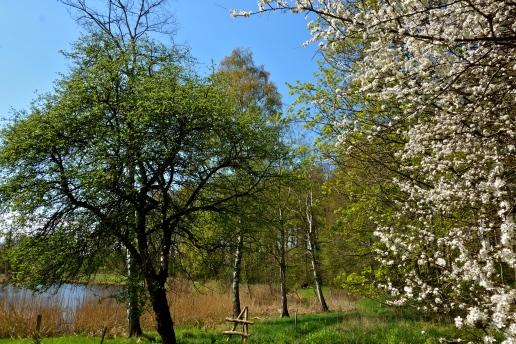 Slåen blomstrer, Blackthorn, Prunus spinosa