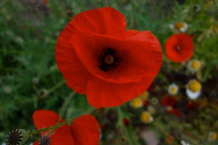 Rød Valmue