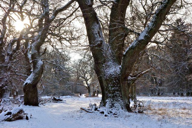 Gamle Egetræer