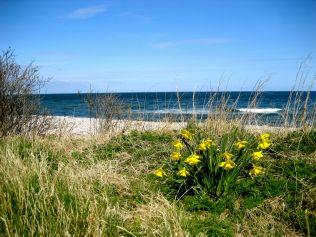 Påskeliljer på stranden