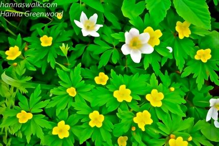 Gule og hvide anemoner