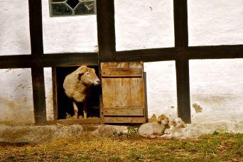 Nyfødte lam i solen