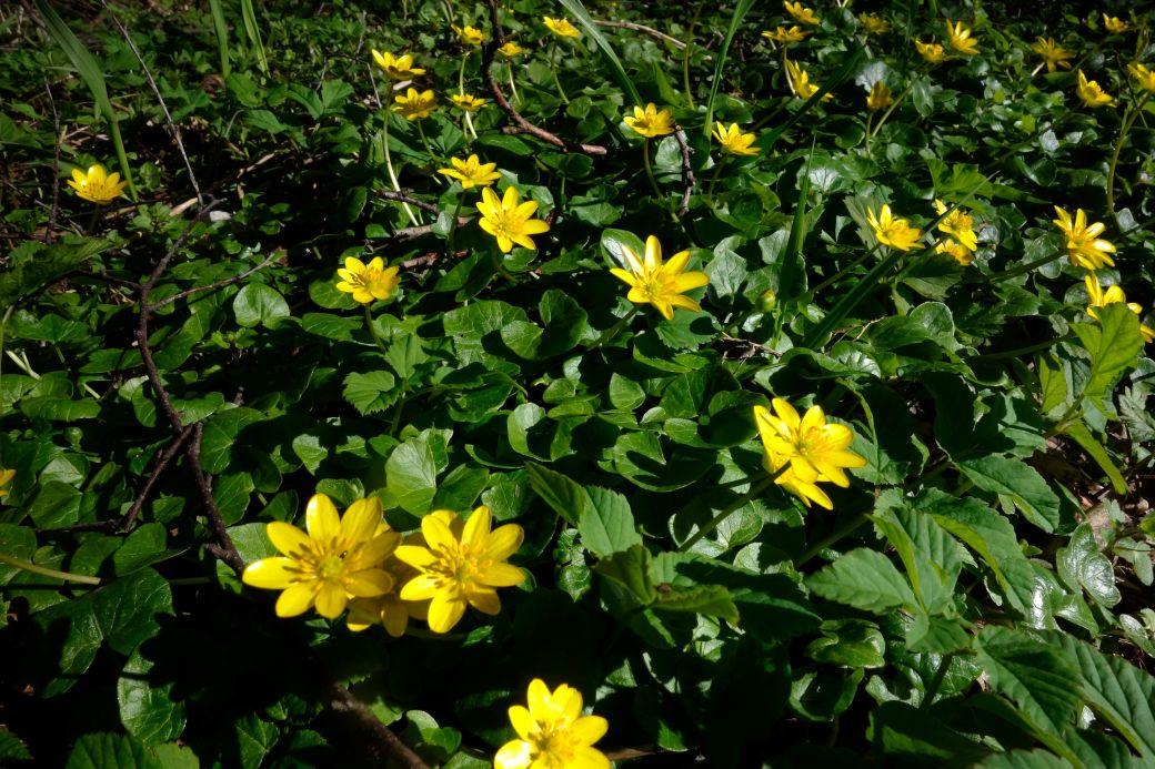 Vorterod, Ranunculus Ficaria