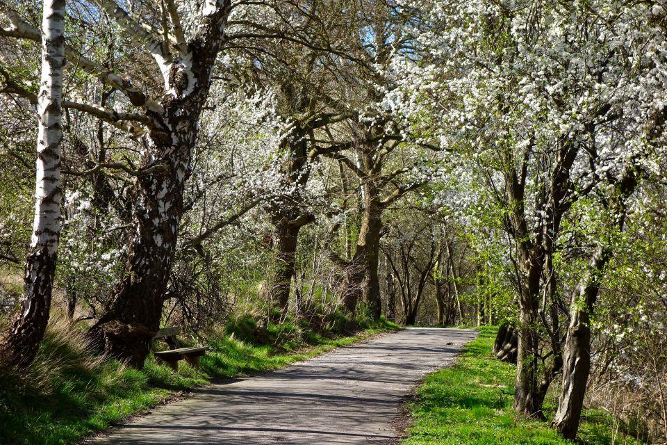 Blooming mirabelle trees