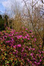 Nyudsprungen rododendron