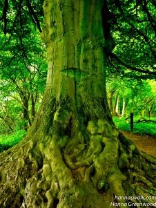 Kikhanerenden, Træskæg