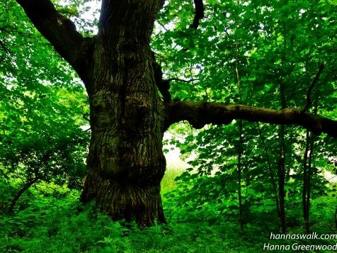 Gammelt Egetræ ved Stampen