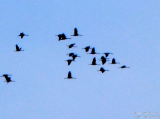 Gribskov, Cranes, Denmark