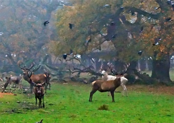 Kronhjorte og krager