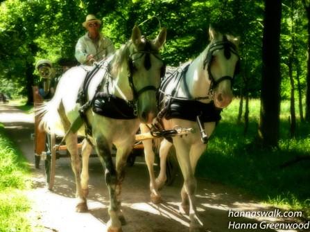 Kusk med hvide heste