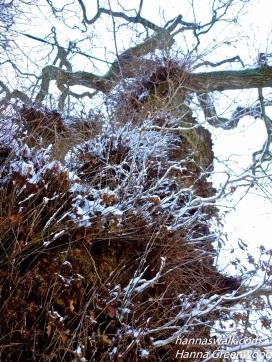 Klopstock-Egen, The Oak