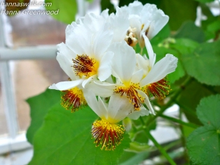 Sparmannia Ufeicana, Stuelind