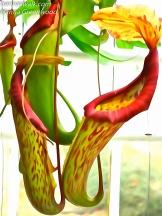Nepenthes Hybrider, Kandebærer