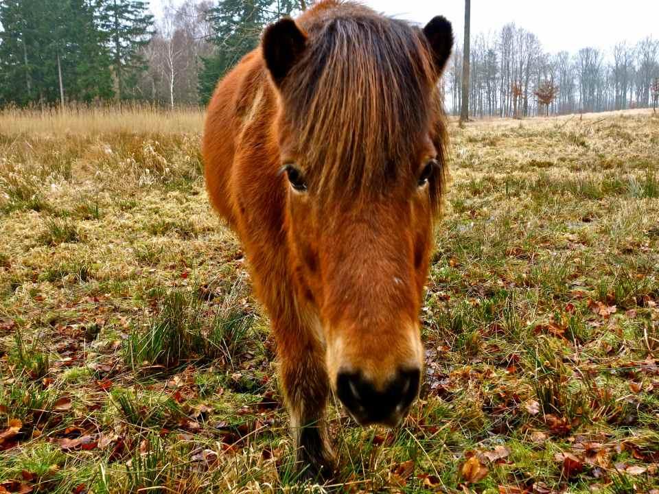 Islandsk hest, Gribskov