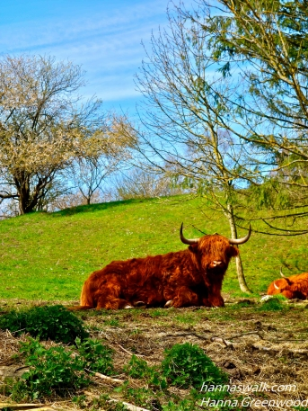 Højlands kvæg, Skovene ved Buresø