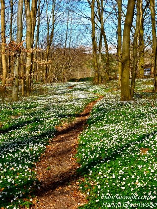 Anemone sti, Ganløse Eged, Skovene ved Buresø