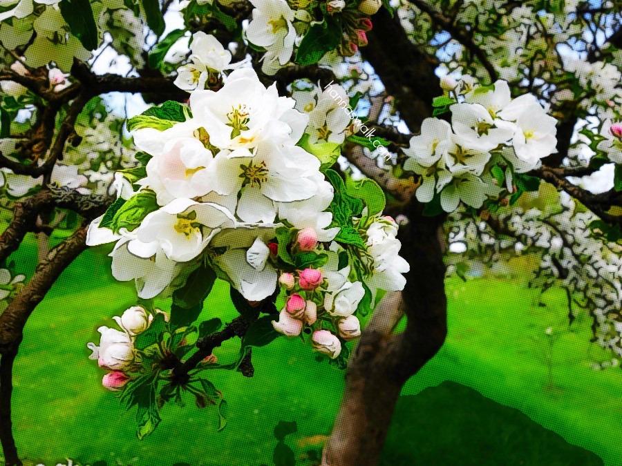 Apple tree in Brede Park