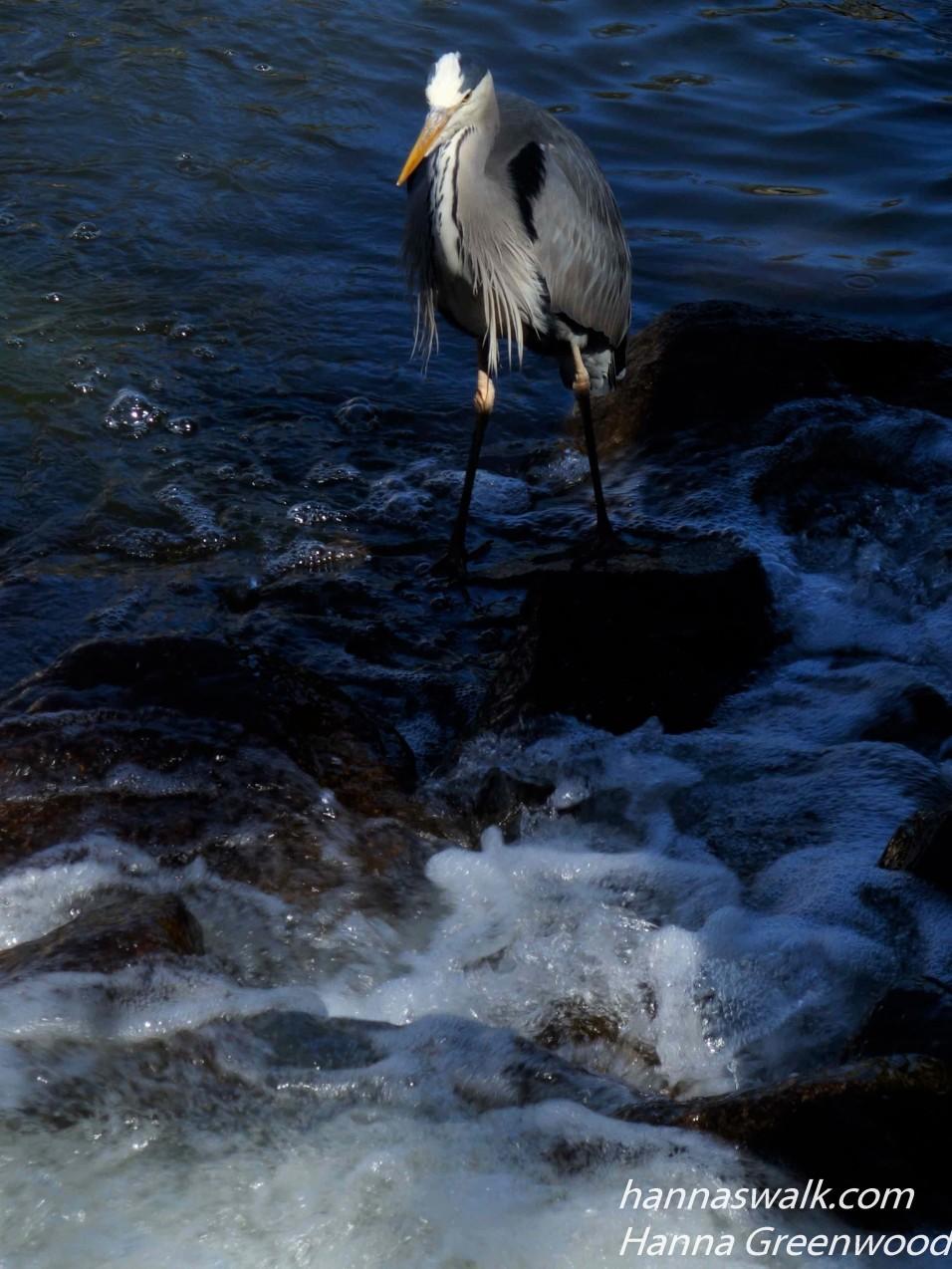 Grey Heron, Ardea cinerea