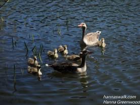 Greylag Geese, Anser anser