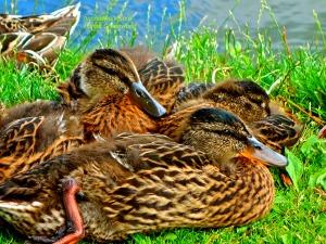 Ducks Waiting