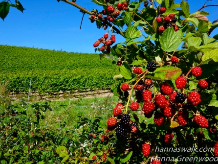 Vines and blackberries