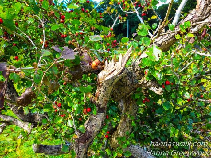 A broken Hawthorn