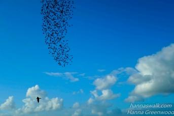 Rovfugl slår ned på stæreflok