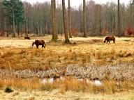 Horses in Gribskov