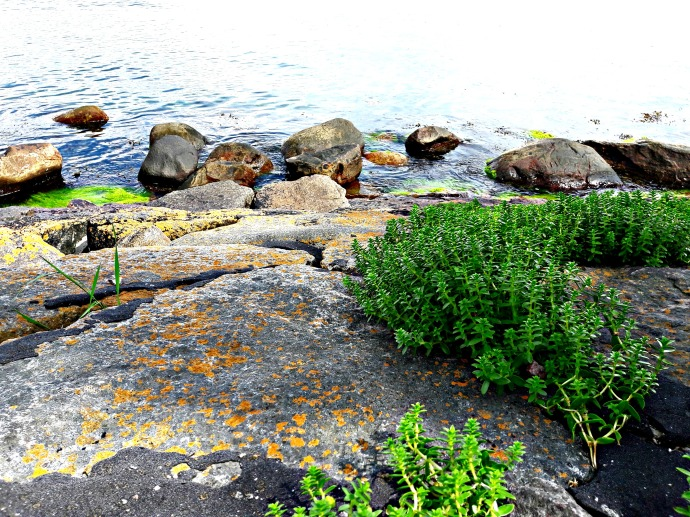 Sea Sandwort