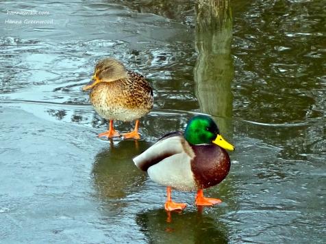 Ducks, Lyngby Sø