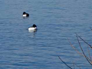 Tufted ducks, Furesøen, Rudersdal, Denmark
