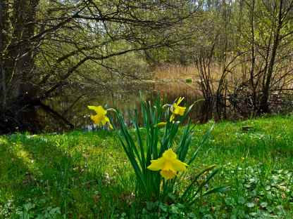 Daffodils like in I Wandered Lonely as a Cloud