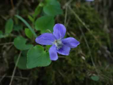A violet in the forest floor