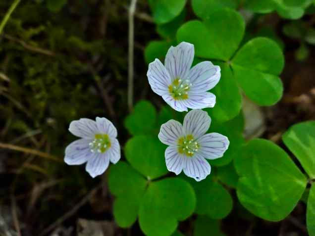 Refreshing wood sorrel