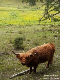 Scottish Highland Cattle, Klevads Mose