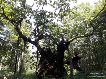 The King-Oak, which is Northern Europe's oldest oak tree. The tree is between 1500 and 2000 years old