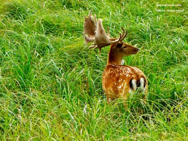 Deer, Jaegersborg Deer Park, Denmark