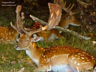 Deer resting in Jaegersborg Deer Park, Denmark
