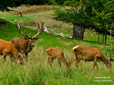 A Stag with his flock, Jaegersborg Deer Park, Denmark