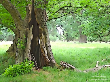 English Oak in the Deer Park, Jaegersborg Deerpark, Denmark