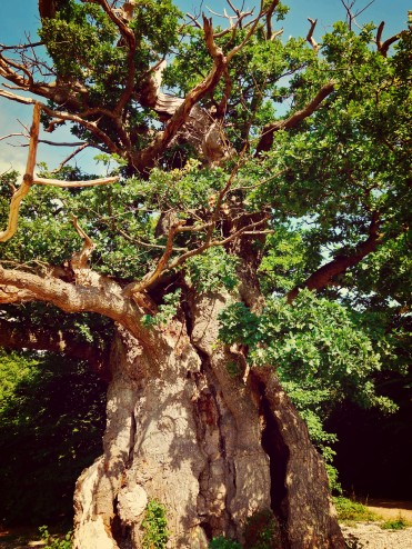 The Forester Oak