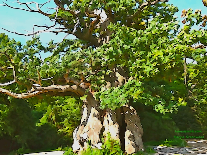 The Forester Oak, the circumference is larger than 10 meters