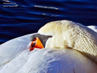 The Swan, Denmark's national bird