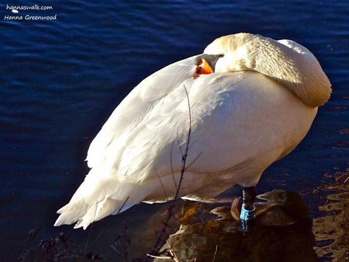 The Swan, Denmark's national bird