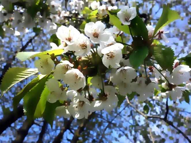 Hvide kirsebærblomster