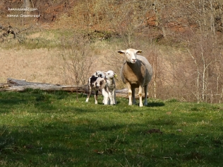 Lambs on the field (2)