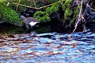 The White Throated Dipper