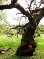 An Oak on Krudtmølleengen, Rådvad, Denmark