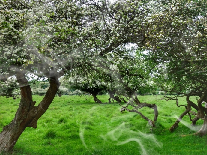 Hovering Hawthorn