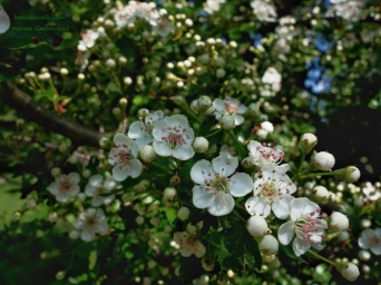 Blossoming hawthorn